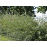 Rosmarinweide, 60-100 cm, Salix rosmarinifolia, Containerware