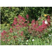 Rotblühende Spornblume 'Coccineus', Centranthus ruber 'Coccineus', Containerware