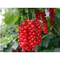 Rote Johannisbeere 'Detvan', 30-40 cm, Ribes rubrum 'Detvan', Containerware