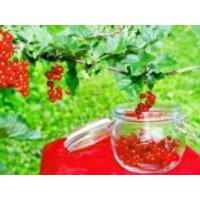 Rote Johannisbeere 'Junifer', 30-40 cm, Ribes rubrum 'Junifer', Containerware