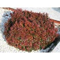 Rote Zwergberberitze / Kleine Blutberberitze 'Atropurpurea Nana', 15-20 cm, Berberis thunbergii 'Atropurpurea Nana', Containerware