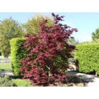 Roter Fächer-Ahorn 'Bloodgood', 150-175 cm, Acer palmatum 'Bloodgood', Containerware
