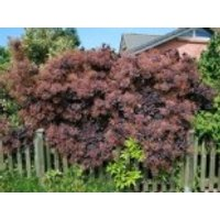 Roter Perückenstrauch 'Royal Purple', 100-125 cm, Cotinus coggygria 'Royal Purple', Containerware