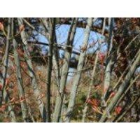 Roter Schlangenhaut-Ahorn, 60-100 cm, Acer capillipes, Containerware