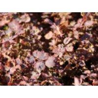Rotes Stachelnüsschen 'Purpurea', Acaena inermis 'Purpurea', Topfware