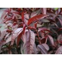 Rotlaubiger Pfirsich 'Nigra', Stamm 40-60 cm, 120-160 cm, Prunus persica 'Nigra', Containerware