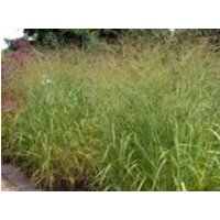 Gräser - Ruten Hirse, Panicum virgatum, Topfware