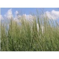 Ruten Hirse 'Prairie Sky', Panicum virgatum 'Prairie Sky', Containerware