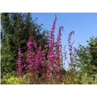 Ruten-Weiderich 'Dropmore Purple', Lythrum virgatum 'Dropmore Purple', Containerware
