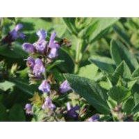 Salbei 'Berggarten', Salvia officinalis 'Berggarten', Topfware