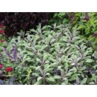 Salbei 'Purpurascens', Salvia officinalis 'Purpurascens', Topfware