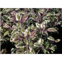 Salbei 'Tricolor', Salvia officinalis 'Tricolor', Topfware