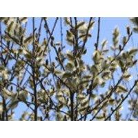 Salweide / Palmweide, 60-100 cm, Salix caprea, Containerware