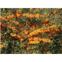 Sanddorn 'Friesdorfer Orange', 60-100 cm, Hippophae rhamnoides 'Friesdorfer Orange', Containerware