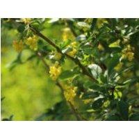 Sauerdorn / Gemeine Berberitze, 30-40 cm, Berberis vulgaris, Containerware