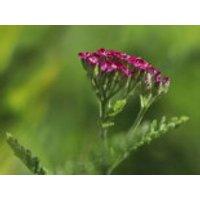 Schafgarbe 'Cerise Queen', Achillea millefolium 'Cerise Queen', Topfware