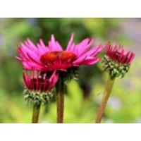 Scheinsonnenhut 'Fatal Attraction' ®, Echinacea purpurea 'Fatal Attraction' ®, Containerware