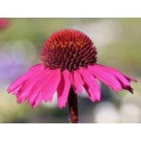 Stauden - Scheinsonnenhut 'Little Magnus' ®, Echinacea purpurea 'Little Magnus' ®, Topfware