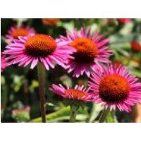 Scheinsonnenhut 'Pica Bella' ®, Echinacea purpurea 'Pica Bella' ®, Topfware