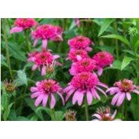 Scheinsonnenhut 'Pink Double Delight', Echinacea purpurea 'Pink Double Delight', Topfware