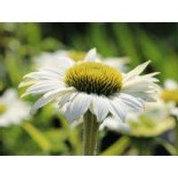Scheinsonnenhut 'Purity', Echinacea purpurea 'Purity', Topfware