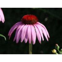 Scheinsonnenhut 'Rubinstern', Echinacea purpurea 'Rubinstern', Containerware