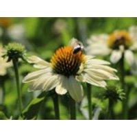 Scheinsonnenhut 'Sunrise' ®, Echinacea purpurea 'Sunrise'  ®, Containerware