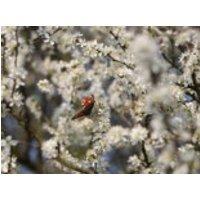 Schlehe / Schwarzdorn, 40-60 cm, Prunus spinosa, Containerware