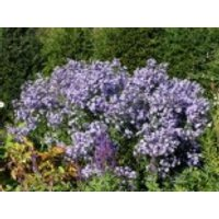 Schleieraster 'Ideal', Aster cordifolius 'Ideal', Topfware