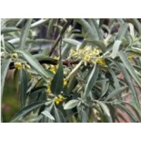 Schmalblättrige Ölweide, 40-60 cm, Elaeagnus angustifolia, Containerware