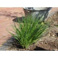 Schnittlauch, Allium schoenoprasum, Topfware