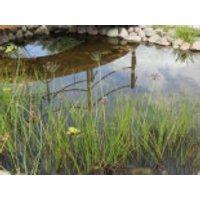 Schwanenblume / Blumenbinse, Butomus umbellatus, Topfware