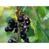 Schwarze Johannisbeere 'Ben Sarek', 10-20 cm, Ribes nigrum 'Ben Sarek', Topfware