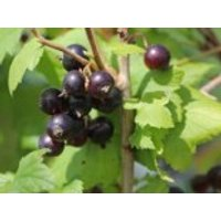 Schwarze Johannisbeere 'Hedda', 30-40 cm, Ribes nigrum 'Hedda', Containerware