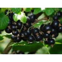 Schwarze Johannisbeere 'Titania' (S), 100-125 cm, Ribes nigrum 'Titania' (S), Containerware