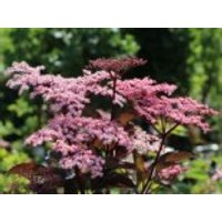 Schwarzer Holunder 'Black Beauty'  ®, 30-40 cm, Sambucus nigra 'Black Beauty'  ®, Containerware