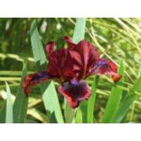 Schwertlilie 'Snugglebug', Iris x barbata-nana 'Snugglebug', Topfware