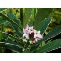 Seidelbast 'Aureomarginata', 20-30 cm, Daphne odora 'Aureomarginata', Containerware