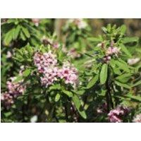 Seidelbast 'Pink Eternal Fragrance', Daphne x transatlantica 'Pink Eternal Fragrance', Containerware