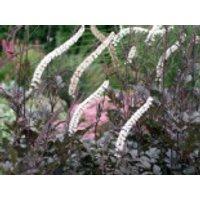 Juli-Silberkerze 'Black Negligee', Cimicifuga racemosa 'Black Negligee', Topfware