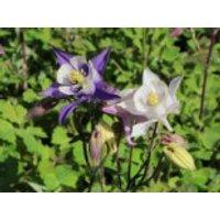 Sibirische Akelei 'Biedermeier', Aquilegia caerulea 'Biedermeier', Topfware