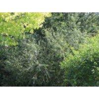 Silber-Weide / Kopfweide, 60-100 cm, Salix alba, Containerware