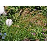 Silberährengras / Ränkegras, 20-30 cm, Achnatherum calamagrostis, Containerware