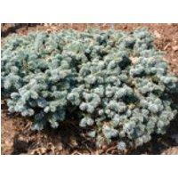 Silbertanne 'Blaue Hexe', Stamm 60 cm, 80-100 cm, Abies procera 'Blaue Hexe', Stämmchen