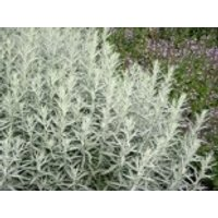 Silbriger Beifuß 'Silver Queen', Artemisia ludoviciana 'Silver Queen', Topfware