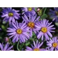 Sommer-Aster 'Mira', Aster amellus 'Mira', Topfware