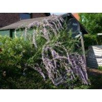 Sommerflieder / Hängeflieder / Schmetterlingsstrauch, 100-125 cm, Buddleja alternifolia, Containerware