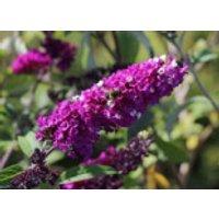 Sommerflieder / Schmetterlingsstrauch 'Berries and Cream', 20-30 cm, Buddleja davidii 'Berries and Cream', Containerware