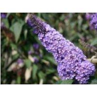Sommerflieder / Schmetterlingsstrauch 'Ellen's Blue', 40-60 cm, Buddleja davidii 'Ellen's Blue', Containerware