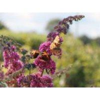 Sommerflieder / Schmetterlingsstrauch 'Flower Power' ® / 'Bicolor', 20-30 cm, Buddleja davidii 'Flower Power' ® / 'Bicolor', Containerware